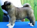 gold-onar-iron-man-6-weeks-male-1-a