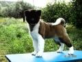 Gold Onar Puppies
