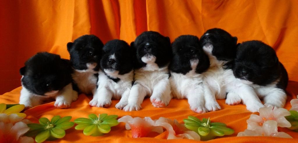 American Akita puppies Gold Onar